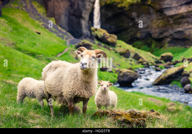 Goat with two babes on a green lawn. Colorful summer morning in Iceland, Europe. - Stock Image