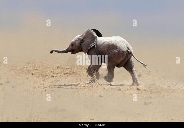 African elephant (Loxodonta africana), baby elephant running through a sandstorm, Kenya, Amboseli National Park - Stock-Bilder