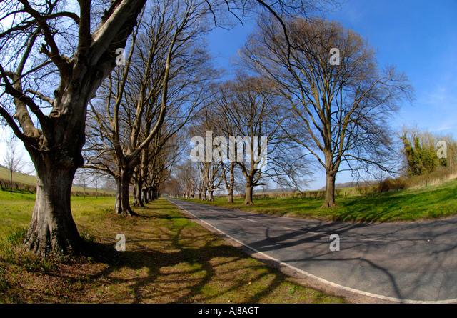 Badbury Rings Beech Trees