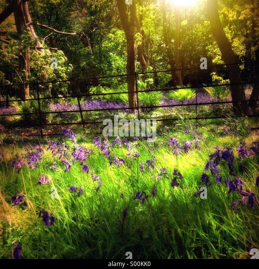 Bluebell woods - Stock Image
