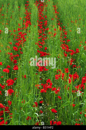 Rows of poppies in wheat field - Stock Image