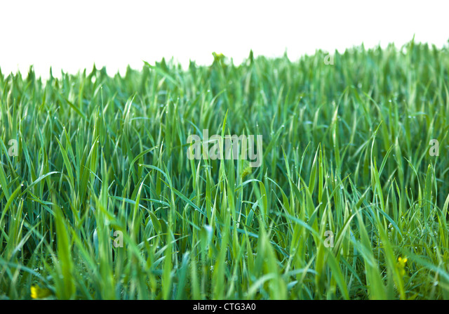 Green grass with Raindrops macro isolated. Horizontal shot - Stock-Bilder