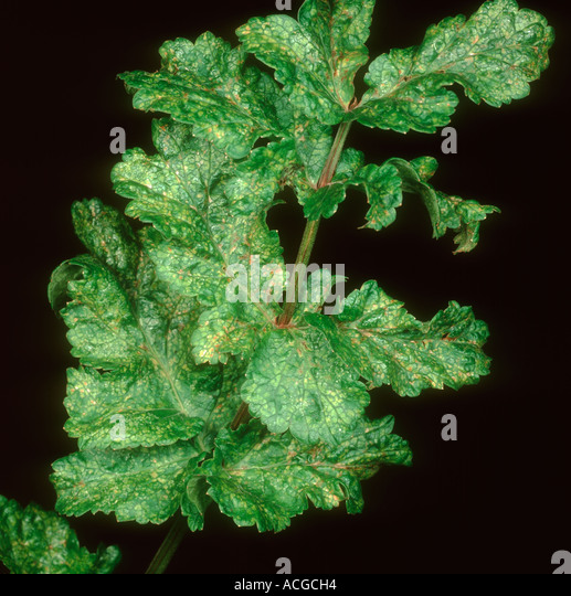 Parsnip yellow fleck virus PYFV mottling on parsnip leaves - Stock Image