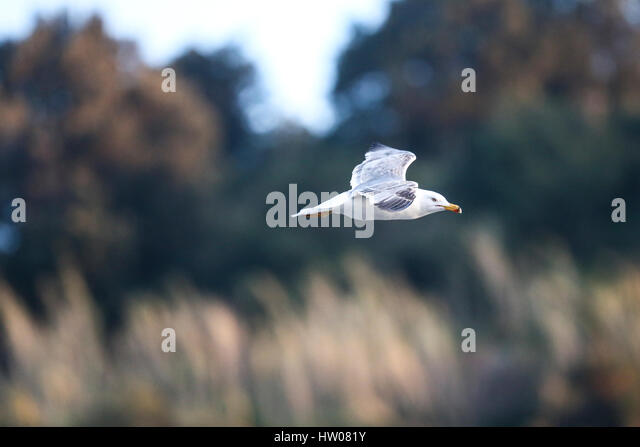 Seagull in the blue sky - Stock Image