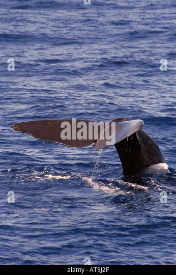 Dominica  sperm whale tail fluke - Stock Image