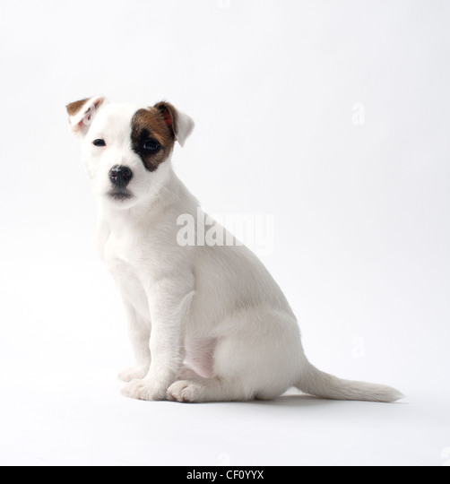 Jack Russell puppy on white studio background - Stock Image