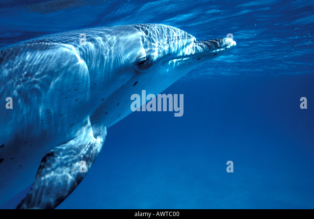 Spotted Dolphin Underwater side profile animal smiling - Stock Image