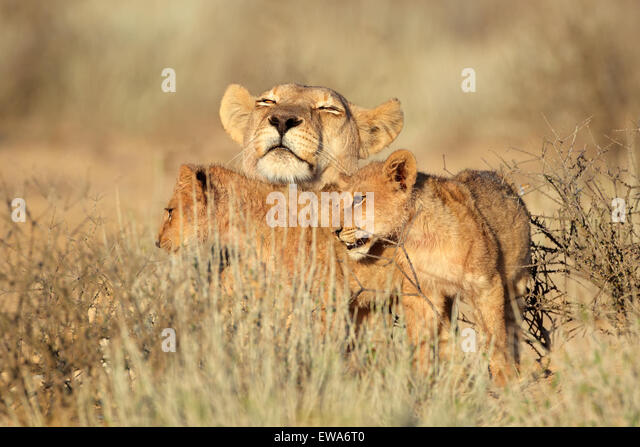 Lioness with young lion cubs (Panthera leo), Kalahari desert, South Africa - Stock Image