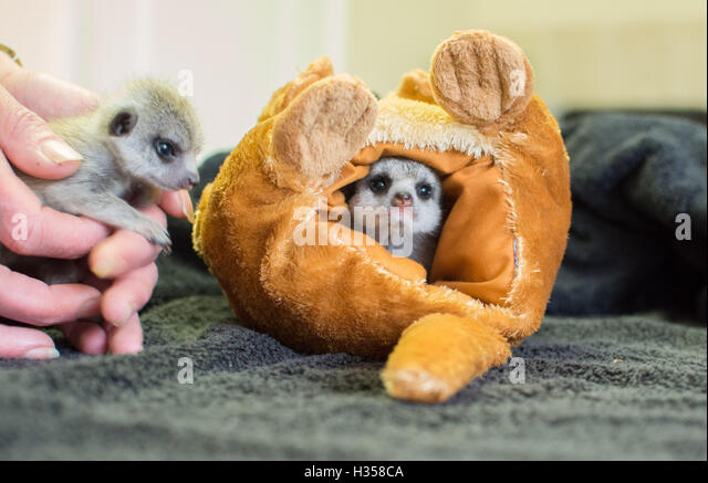 Indian Queens, Cornwall,UK. 5th October 2016.  Two baby Meerkats who were born at Screech Owl Sanctuary in Cornwall, - Stock Image