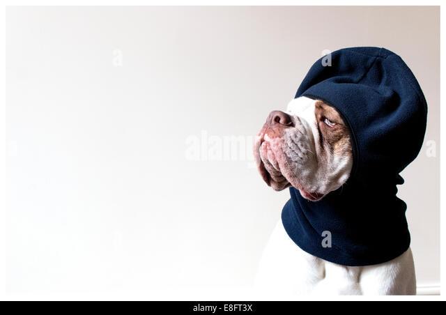 Old Tyme Aylestone bulldog wearing a balaclava hat - Stock Image