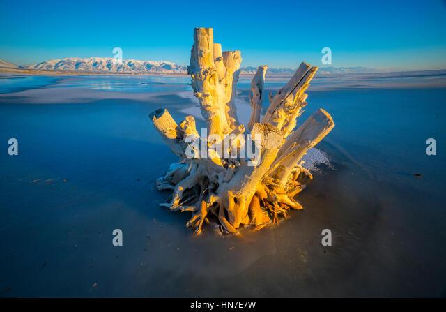 Snag on Great Salt Shore, Antelope Island National Park, Utah  Wasatch Mountains beyond - Stock-Bilder