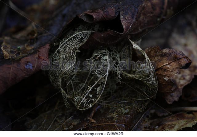 Decayed leaf shapes - Stock Image