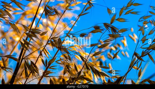 Ripe Oats against blue sky - France. - Stock Image