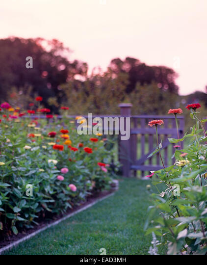 Zinnias in Garden at sunset - Stock Image