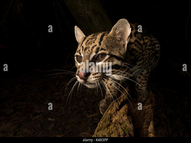 Ocelot portrait with a wide angle remote camera from South Pantanal, Brazil - Stock Image