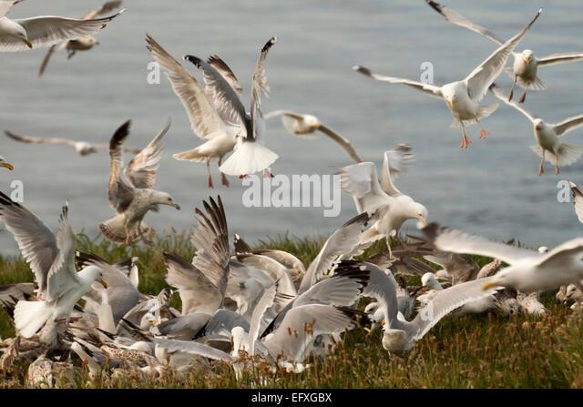 Feeding flock of seagulls - Stock Image