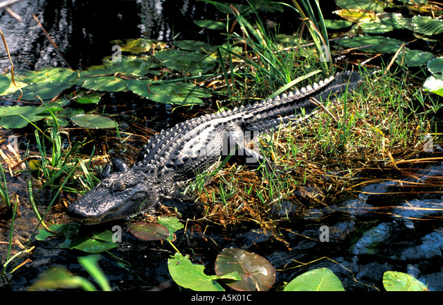 Florida Everglades National Park alligator resting on bank - Stock Image