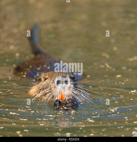 coypu, nutria (Myocastor coypus), swimming, front view, France, Camargue - Stock Image