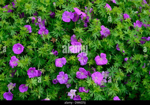 Flowering groundcover stock photos flowering groundcover for Perennial ground cover with pink flowers