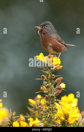 Dartford Warbler - Stock Image