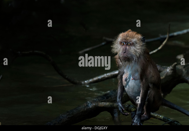 A Macaque monkey. - Stock Image