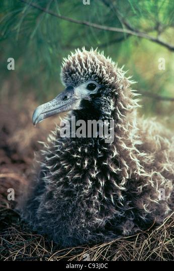 Laysan Albatross chick on nest, (Diomedea immutabilis) Kilauea National Wildlife Refuge, Kauai, Hawaii. - Stock-Bilder