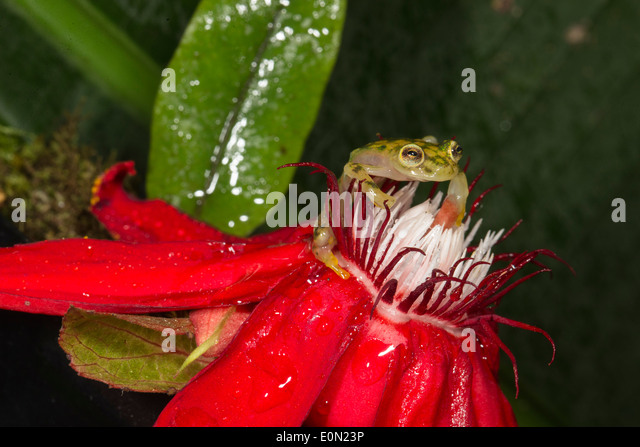Reticulated Glass Frog, Arenal Volcano, Costa Rica, Central America. Controlled situation (Hyalinobatrachium valerioi) - Stock-Bilder