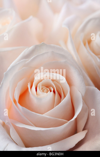 Close up of a bunch of fresh pink white hybrid tea roses - Stock-Bilder
