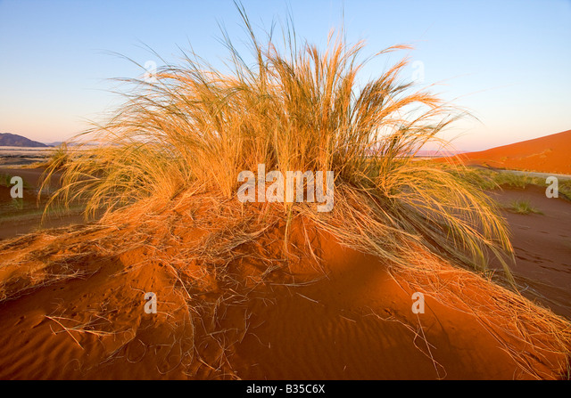 Dawn among sand dunes and grass of Sossusvlei sand dune area in south central Namibia - Stock Image