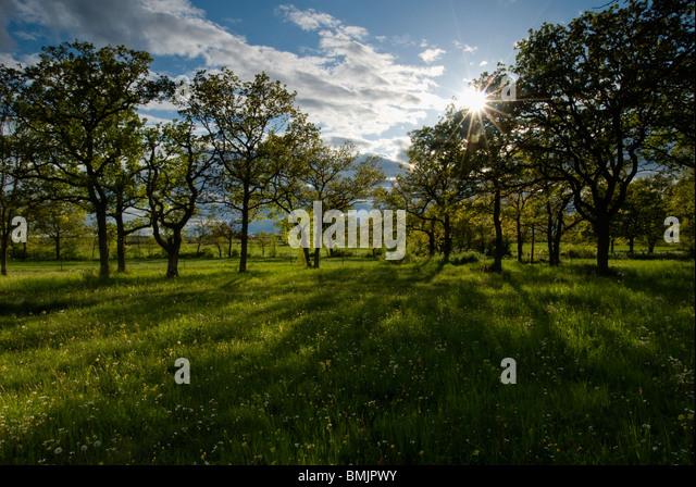 Scandinavia, Sweden, Oland, View of oak trees in landscape - Stock Image