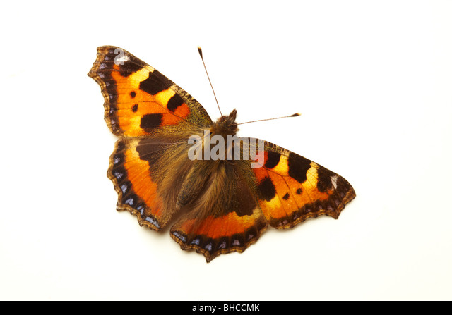 A Red Admiral Butterfly (Vanessa Atalanta) - Stock Image