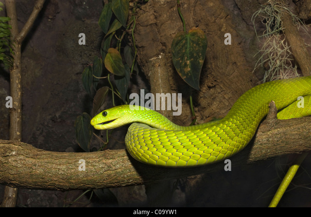 Green Mamba, Dendroaspis angusticeps Ghana Africa - Stock Image