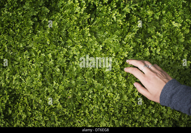 A woman's hand stroking the lush green foliage of a growing plant. Small delicate frilled edged leaves. - Stock Image