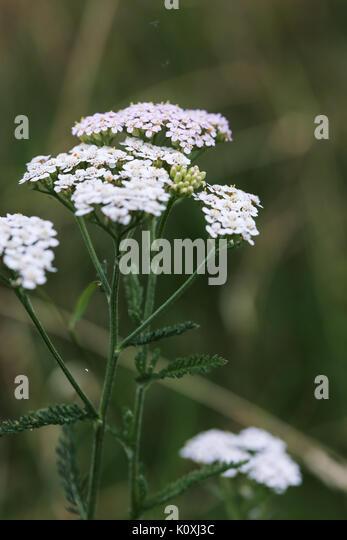 Achillea millefolium white wild flower on green meadow - Stock Image