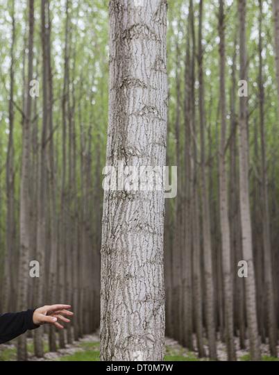Oregon USA poplar tree plantation person reaching touch tree - Stock Image