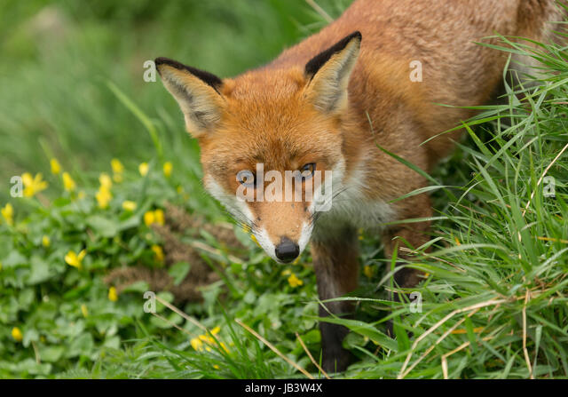 Captiive Red Fox (Vulpes vulpes) Standing in Grass at The British Wildlife Centre, Newchapel, Lingfield, Surrey, - Stock Image
