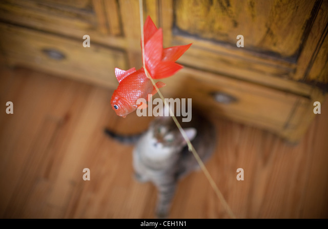 Cat ready to leap on plastic fish - Stock Image