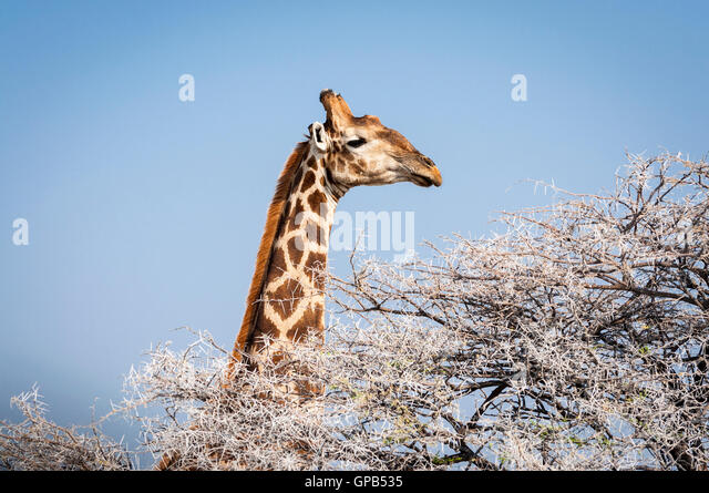Head of a Giraffe eating from a tree in the Etosha National Park in Namibia, Africa; Concept for travel in Africa - Stock-Bilder