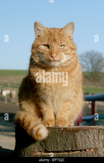 Domestic Cat (Felis silvestris, Felis catus). Free-ranging farm tomcat sitting on a log. - Stock Image