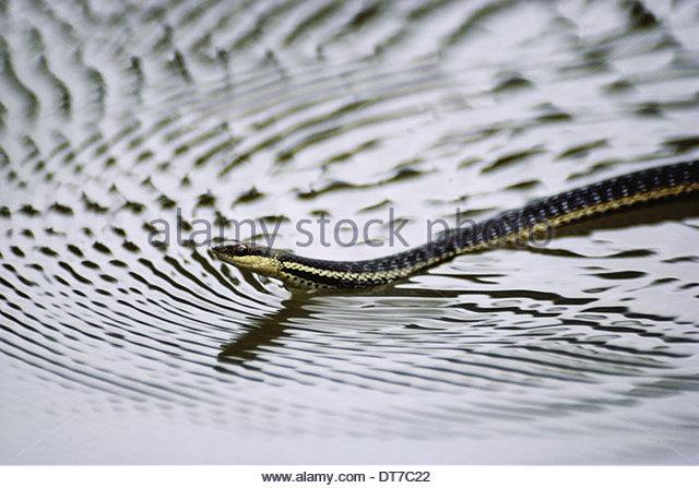 Madagascar water snake swimming Liopholidophis lateralis Madagascar Berenty Reserve Madagascar - Stock Image