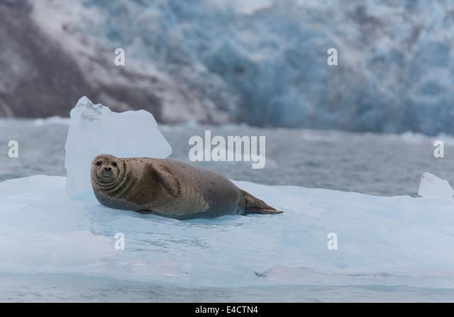 Harbor Seal in Prince William Sound, Chugach National Forest, Alaska. - Stock-Bilder