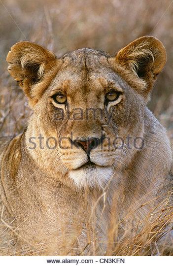 African Lion, Kruger National Park, South Africa - Stock Image