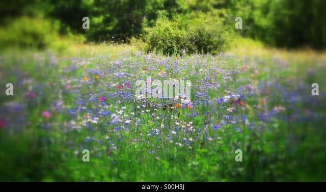 Wild flowers in a meadow - Stock-Bilder
