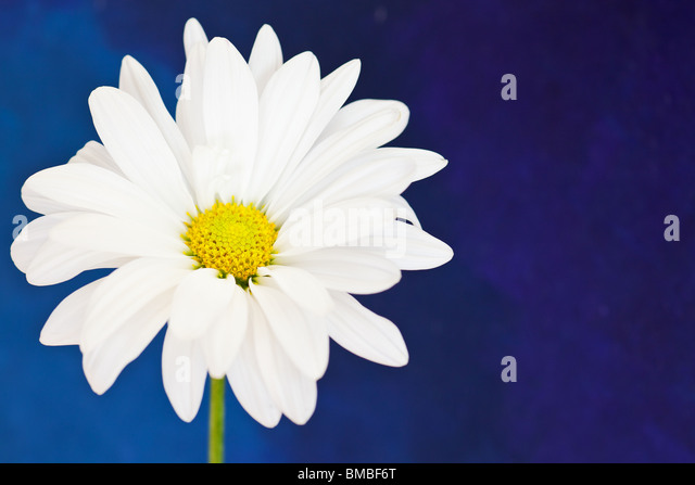white and yellow daisy on a hand painted watercolor background - Stock-Bilder