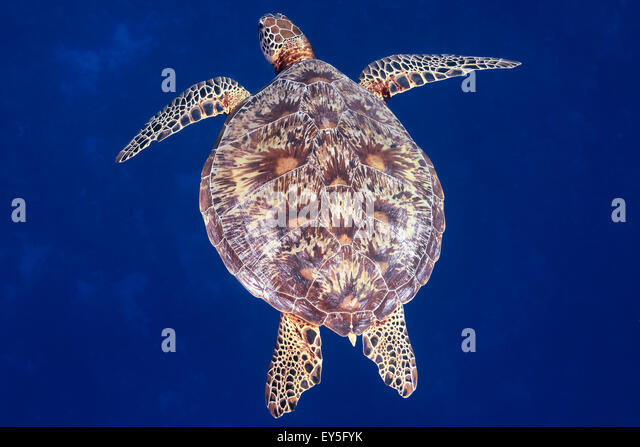 Green Sea Turtle Chelonia mydas swimming, Western Pacific Ocean, Palau Federates States of Micronesia - Stock Image