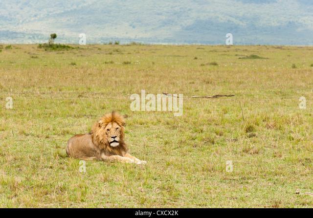 Lion (Panthera leo), Masai Mara, Kenya, East Africa, Africa - Stock Image