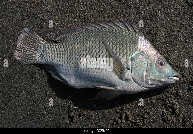 Cichlids stock photos cichlids stock images alamy for Tilapia aquarium
