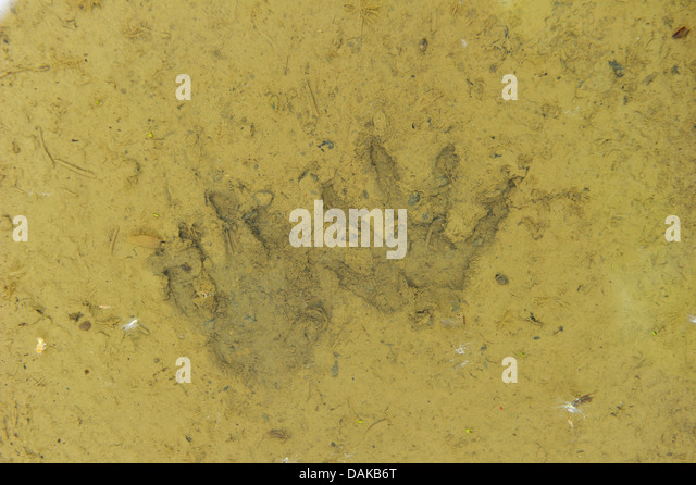 common raccoon (Procyon lotor), foot print of a racoon in the lane of fieldpath, Germany, Hesse - Stock Image