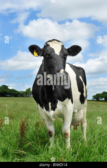 holstein cow in grass - Stock Image