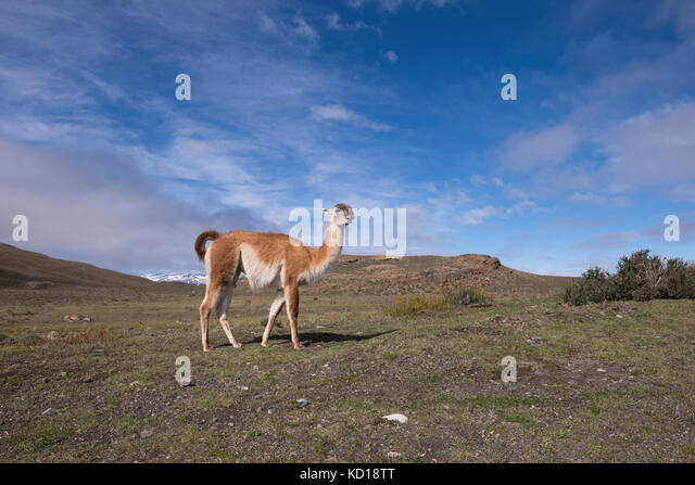 Guanaco in Torres del Paine, Chile - Stock Image